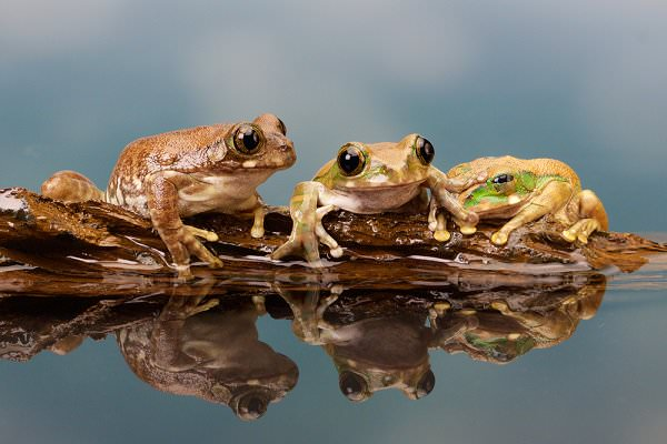 There are three frogs on a log. One makes the decision to jump. How many frogs are on the log? (Mark Bridger/Shutterstock)